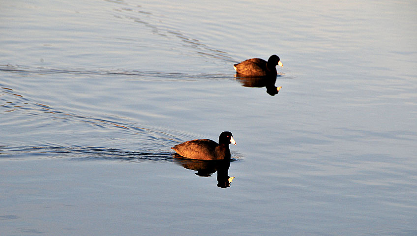 ducks-lake-mead
