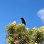crow on flowering joshua tree