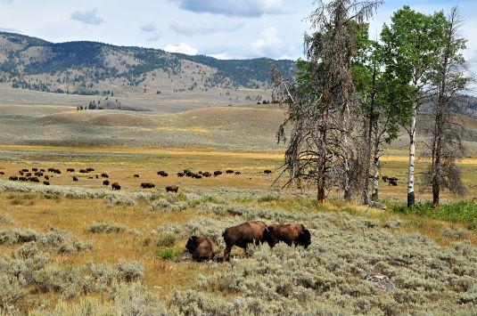 herd-buffalo