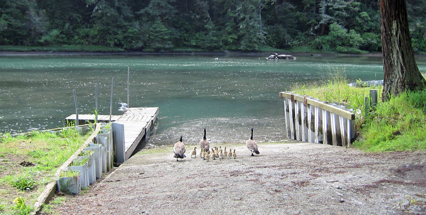 baby-geese