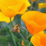 The bees are loving the poppies next to our campsite.…
