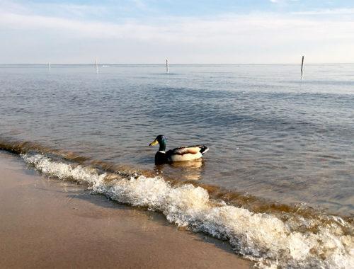 michigan-duck