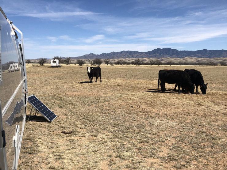 cows near an airstream trailer